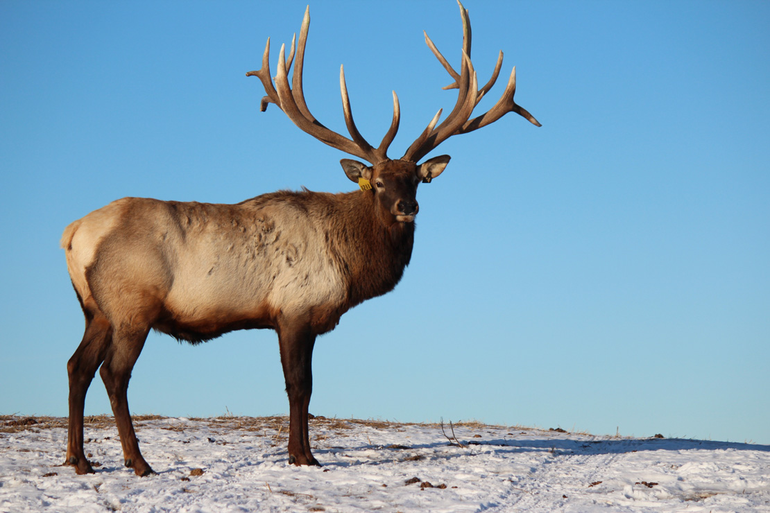 the canadian cervid alliance protects elk and deer ranching in canada