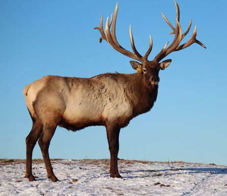 large cervid animal safely protected in canada